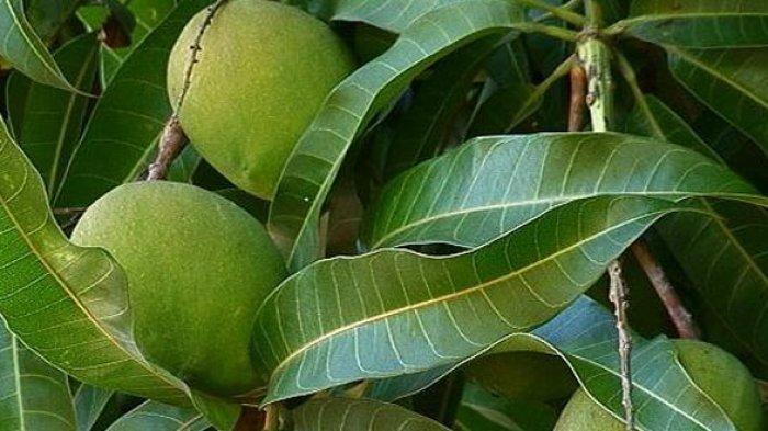 daun mangga