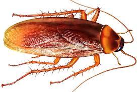 Hati-hati Kecoa Bisa Menjadi Dampak Buruk Bagi Kesehatan